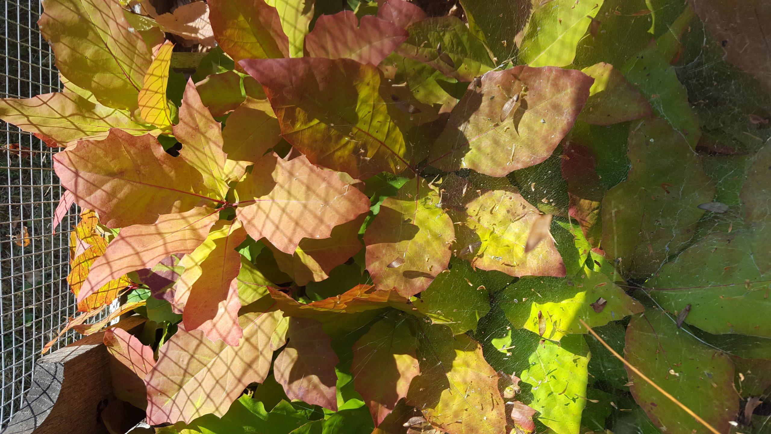 Autumn Oak seedlings alongside Hazel air prune beds